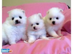 Pomeranian puppies, Exotic colors, whites, merles, blue eyes.. Gorgeous, nice quality Pomeranian puppies, registered, de-wormed , with first puppy shots and 1 year health ...