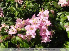 Bougainvillea Bougainvillea, Botanical Gardens, Sri Lanka, Plants, Plant, Planets