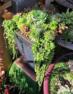 More potted succulents. Good idea for front or window boxes since it gets so dry here in summer