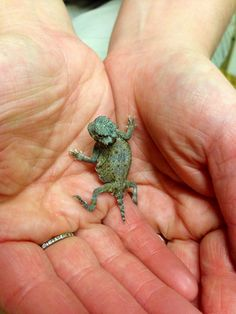 Baby Desert Horned Lizard Horned Lizard, Tn State, Reptiles And Amphibians, Board, Cute, Animals, Animales, Animaux, Animais