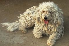 my dog breed, this is not my actual dog but it sure looks like Skya. This is our third Komondor and we will stick with the breed when we need another. Skya weighs 125 lbs. Big independent-minded dogs! Not for everyone, need lots of land for it to patrol and guard.