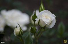 https://flic.kr/p/BVy1Fo   Rose