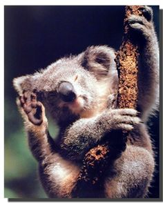 Simply Wow! This cute kola bear wall poster looks extremely beautiful and transforms any room into an exotic natural environment. Koala Bears are found in Queensland, New South Wales, Victoria and South Australia. Koalas live in societies, just like humans, so they need to be able to come into contact with other koalas. This poster is perfect for any home decor style and will become great addition for your home. It is perfect for any animal lover.