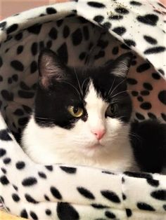 Gwen was found abandoned in a store parking lot with 7 young kittens. She is now at our shelter awaiting her furever home.