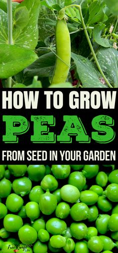 Vegetable Gardening For Beginners: Learn how to grow your own peas in your backyard garden. | Vegetable Gardening Tips |
