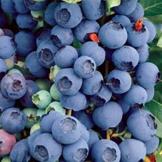 Bluecrop Blueberries grow well in Wilmington, NC, but are a little more susceptible to drought and heat compared to Rabbiteye. But, you need two different types of blueberry bushes to cross pollinate for the most successful blueberry yield.
