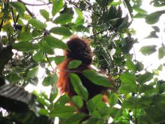 Learning and Playing Time for the Young Orangutans in Batikap | Going Back to the Forest Update on released orangutans and their youngsters in Bakitap forest.
