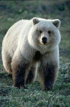 """Blonde Grizzly (Brown Bear) - A Kermode Bear (a. the """"spirit bear""""). The Kermode bear is a subspecies of the North American Black Bear (the pale colour is determined by a recessive gene) and live in British Columbia, Canada. Nature Animals, Animals And Pets, Cute Animals, Wild Animals, Baby Animals, Baby Pandas, Strange Animals, Spirit Bear, Spirit Animal"""