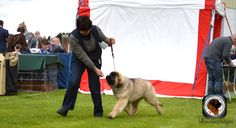 sully's at belgian shepherd show Belgian Shepherd, Best Puppies, Sully, Big Day, Dogs, Animals, Animaux, Doggies, Animal