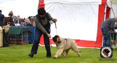 sully's at belgian shepherd show