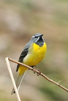 The Grey Wagtail (Motacilla cinerea) is a small member of the wagtail family, Motacillidae. The bird is widely distributed across the Palearctic region with several well marked populations. I Like Birds, Pretty Birds, Beautiful Birds, Grey Wagtail, Bird Identification, Different Birds, Mammals, Reptiles, Animals