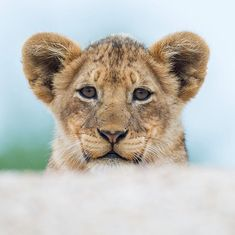 """1,527 Likes, 14 Comments - Rudi Hulshof (@rudihulshof) on Instagram: """"So inquisitive this young little #lion #cub who is one of the 11 #cubs part of the Black Dam Pride…"""" #Africa #Lion"""