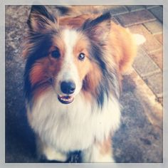 It was a long week without this little guy!  #sheltie #sheltiesofig_ #atx #bouldincreekcafe