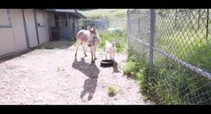 #goatvet likes this heartwarming story about a rescued goat that fretted until its friend, a donkey was brought to him.