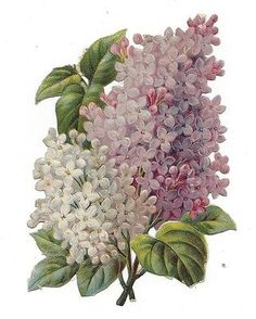 Victorian-Die-Cut-Scrap-Lilacs