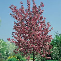 Malus 'Rudolph' - Google Search