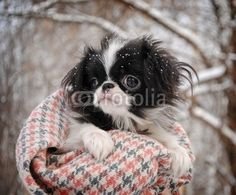 AHH too cute!! Japanese Chin puppy