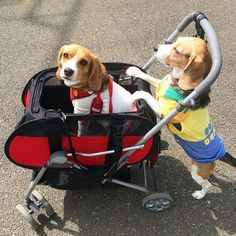 Are you interested in a Beagle? Well, the Beagle is one of the few popular dogs that will adapt much faster to any home. Blue Tick Beagle, Pet Dogs, Dog Cat, Doggies, Animals And Pets, Cute Animals, Cute Beagles, Most Popular Dog Breeds, Beagle Puppy