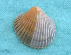 Using baby oil to clean seashells
