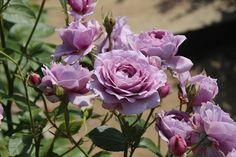 Novalis rose - Google Search Rosemary Garden, Lilac Roses, Plantation, Home Remedies, Shrubs, Flowers, Plants, Mauve, Gardening