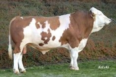 De Hacienda Luna de Macondo  HORNER, Simmental austriaco doble propósito, positivo en producción de leche, musculatura, aplomos y ubres.   Este toro es el padre de la ternera LDM HELEN 102-2.