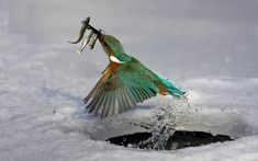 A kingfisher catching fish out of a hole