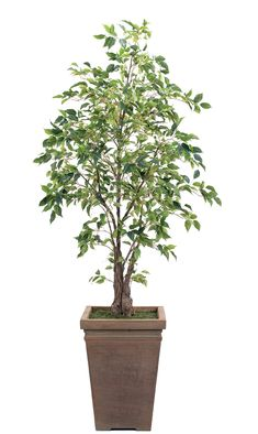 Preorder for January | Ficus (T19-6): Ficus, shown in container option J, Square Planter Antique Clay, 42wx6.5'h