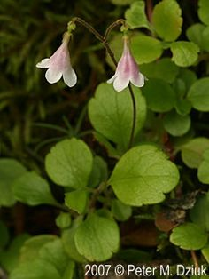 Photos and information about Minnesota flora - Twinflower: a pair of nodding to ½-inch pink bell-shaped flowers