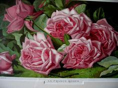 c1894 PINK Cabbage ROSES Print Annie Taylor Burt Chromolithograph Half Yard Long Antique Victorian