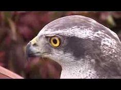 Ragadozó madarak, sólymok, ölyvek, héjják Owl, Bird, Animals, Animales, Animaux, Owls, Birds, Animal, Animais