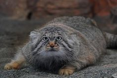 Things that make you go AWW! Like puppies, bunnies, babies, and so on. A place for really cute pictures and videos! Felis Manul, Manul Cat, Small Wild Cats, Big Cats, Cats And Kittens, Beautiful Cats, Animals Beautiful, Pallas's Cat, Baby Animals