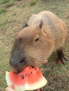 """Capybara Eating Watermelon"""