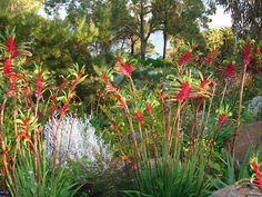 Kangaroo paws for the area of native plants Australian Native Garden, Australian Native Flowers, Australian Plants, Bush Garden, Dry Garden, Landscape Design, Garden Design, Australian Wildflowers, Drought Tolerant Garden