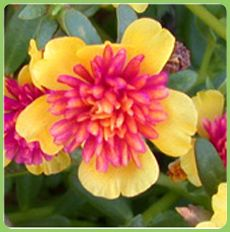 Portulacas are great ground covers .Loves hot sun ,little water & need to be pinched & replanted frequently to look their best.