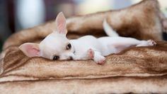 Effective Potty Training Chihuahua Consistency Is Key Ideas. Brilliant Potty Training Chihuahua Consistency Is Key Ideas. White Chihuahua, Teacup Chihuahua, Chihuahua Puppies, Cute Puppies, Cute Dogs, Dogs And Puppies, Doggies, Animals And Pets, Baby Animals
