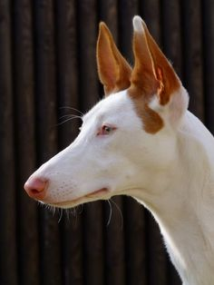 "Escalona | The word ""podenco"" is Spanish for ""hound"". Various sizes of podenco of this type (sight hounds) are used for hunting rabbits, etc."