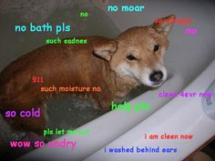 Doge The Shiba Inu Dog Meme Owns The Internet (PICTURES, GIFS) bath doge #funny