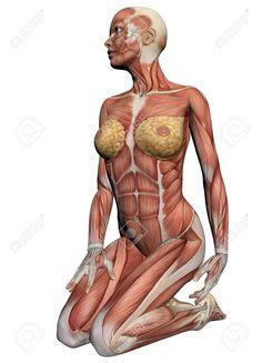 Anatomie Humaine - Muscles Femelle Fait Dans Un Logiciel 3D Banque D'Images, Photos, Illustrations Libre De Droits. Pic 19866714.