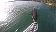 Orca bites the back of a man's SUP paddleboard. Photo: Screen grab