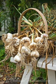The Colonial Garden; Harvested crop of garlic Photo by Barbara Temple Lombardi.