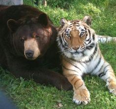 Baloo and Shere Khan at Noah's Ark - photo by noahs ark sanctuary, via Flickr