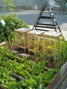 Little portable greenhouses (each one is covering a bell pepper plant). Made with clear plastic sheeting, each one only cost ~6 dollars.