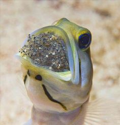 Jawfish protecting it's babies. Some fish are actually really great parents! Underwater Creatures, Underwater Life, Beneath The Sea, Under The Sea, Beautiful Creatures, Animals Beautiful, Wale, Beautiful Fish, Beautiful Pictures