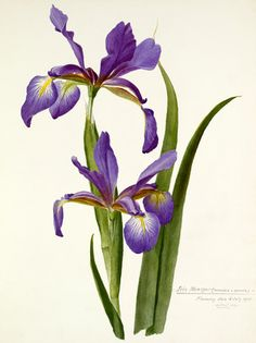 Watercolour on paper entitled Iris monspur attributed to a Miss Williamson. One of a bound volume of 35 paintings of iris made for Ellen Wilmott (1858-1934) which are likely to be varieties from Wilmott's Essex garden Warley Place. Creator: Williamson, Miss (attributed to). Date: 30 May 1908