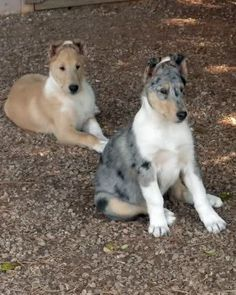 Smooth Collie dog photo | Dog Forum | Dog Pictures