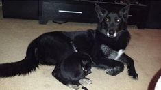 SHAME ON YOU!!!! Aurora Animal Control claims longtime family dog is wolf hybrid, won't return him to owners