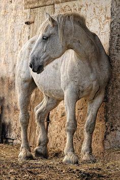 Flea-Bitten Gray Percheron Draft Horse