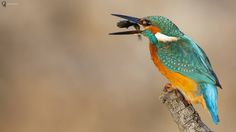 Kingfisher by Ercan Üç | GuruShots