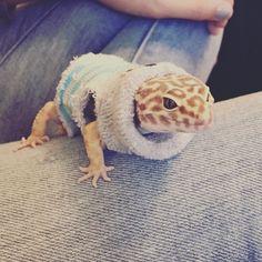 Leopard gecko in a sweater