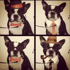 Hipster Boston Terriers